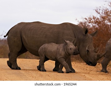 Rhino with baby in kruger national park
