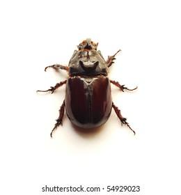 rhino beetle bug
