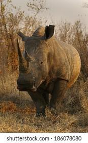 The Rhino Bull Weapon