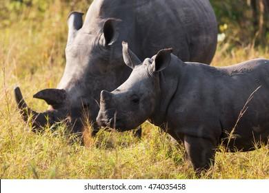 Rhino calf with mum