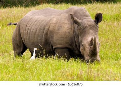 A rhino with a cattle egret in the long grass