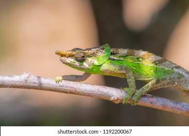 Rhino Chameleon, rhinoceros chameleon in Madagascar, green chameleons animal wildlife, wild animals in Madagascar. Holiday travel tour in Andasibe, Isalo, Masoala, Marojejy National parks. Chameleons.