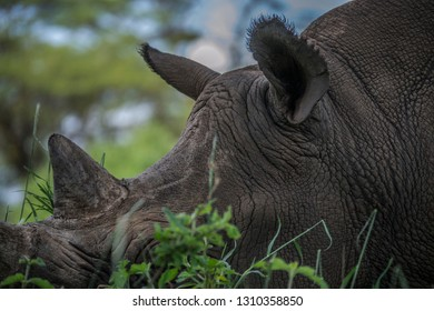 Rhino close up horn and ears