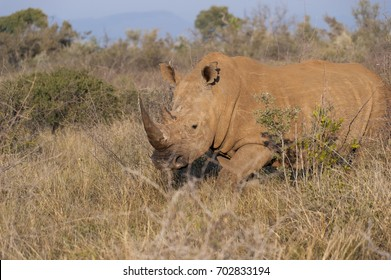 A rhino covered in red mud walking in bushes in Africa