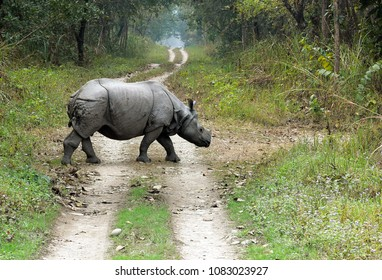 Rhino crossing a jungle road in Chitwan National Park, Nepal