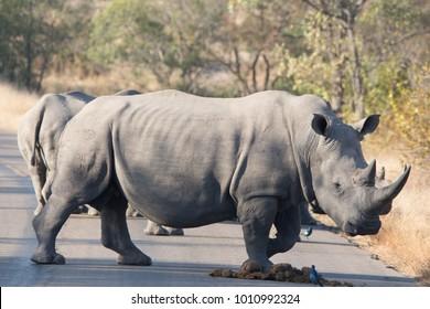 Rhino crossing road