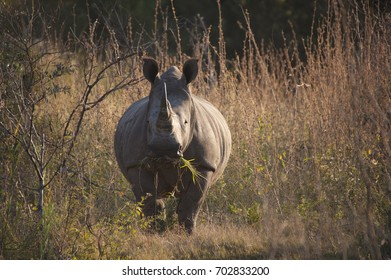 A rhino eating grass while standing in bushes in Africa