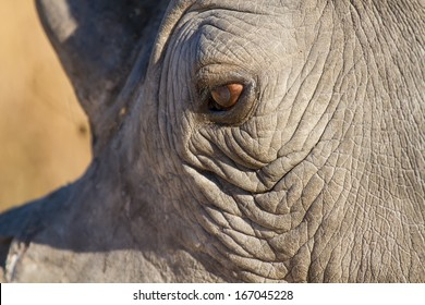 Rhino eye close-up looking sad in sunlight with texture skin