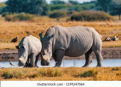 rhino family, mother with baby of white rhinoceros Khama Rhino Sanctuary reservation, Botswana safari wildlife, Wild animal in the nature habitat. This is Africa.