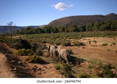 Rhino in front of Kilimanjaro mountain - Amboseli national park