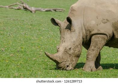 A rhino grazes