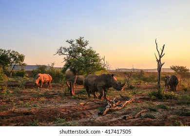 Rhino herd moving around at sunset