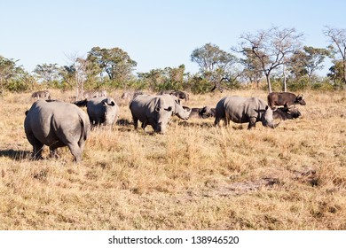 Rhino herd standing on grass plain protecting each other