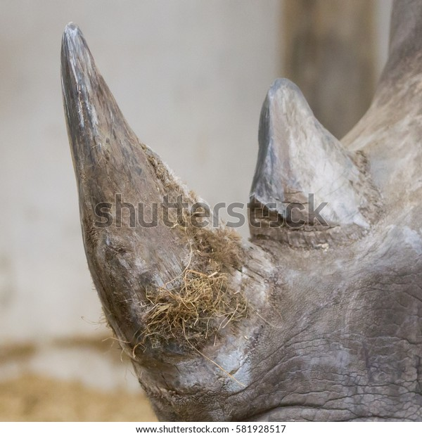 Rhino with horn close up, selective focus