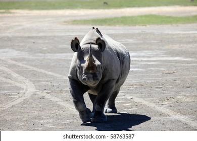Rhino - Lake Nukuru National Park in Kenya, Africa