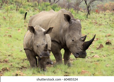 Rhino mother and calf in African National Park