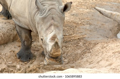 Rhino in Mud