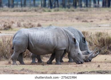 rhino in the national park of kenya