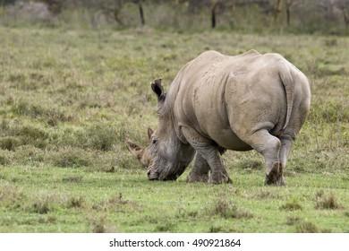 Rhino in nature