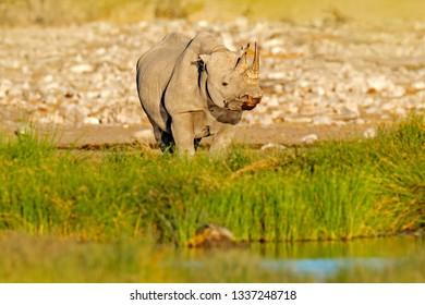 Rhino near the water hole with green vegetation, Etocha NP, Namibia, Africa. Black rhinoceros or hook-lipped rhinoceros, Diceros bicornis, in the nature habitat, Africa, face portrait of big animal.