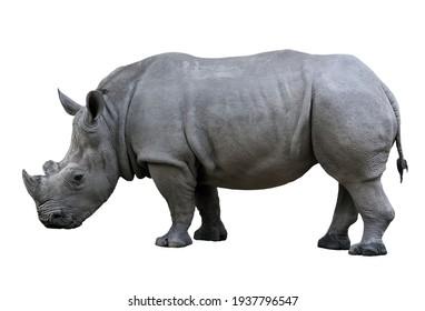 Rhino nose horn isolated on white background