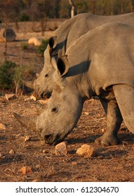 Rhino pair close up in south africa