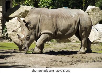 Rhino in the park zoo