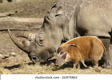 Rhino and pig eating together