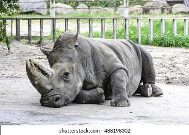 Rhino resting in the zoo
