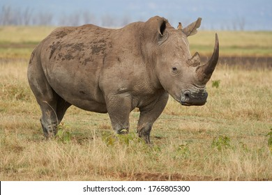 Rhino - Rhinoceros with Bird White rhinoceros Square-lipped rhinoceros Ceratotherium simum