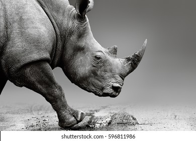 Rhino or Rhinoceros close up while mobile in Pilanesberg National Park. Fine art, monochrome. Rhinocerotidae