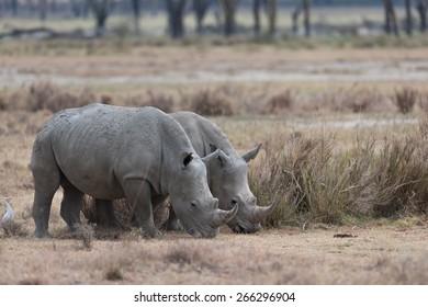 rhino in the savanna of Africa