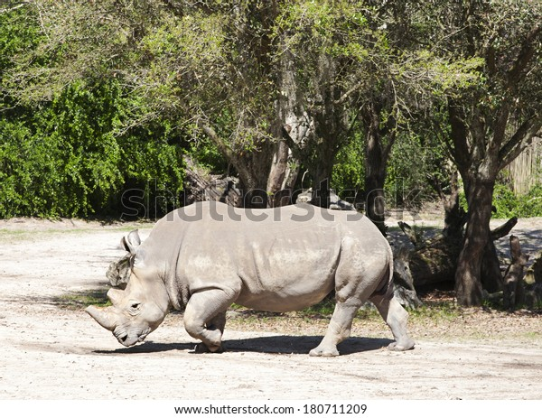 Rhino walking in animal kingdom park