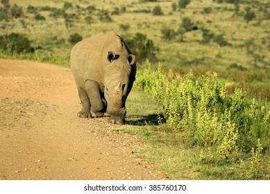 Rhino walking down a dirt road in the Pilanesberg Game Reserve