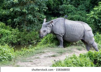 The Rhino in the Wild