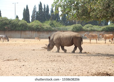 the rhino in the wild in the safari of Petah Tikva, Israel