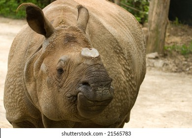 rhino without a horn