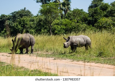 Rhino at Ziwa Rhino Sanctuary in Uganda