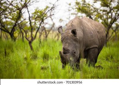 Rhino - Ziwa Rhino Sanctuary - Uganda