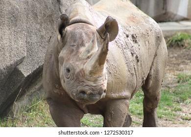 Rhino at the zoo