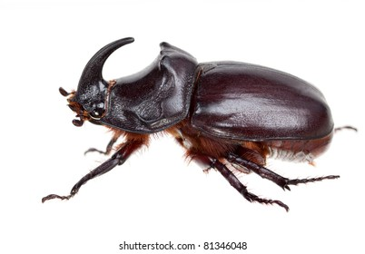 Rhino-bug