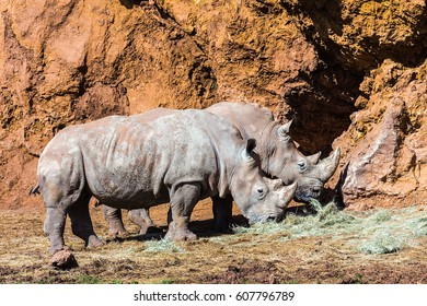 Rhinoceros is any mammal in the family Rhinocerotidae