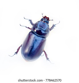 Rhinoceros beetle crawling on white background, isolated blue beetle. These wonderful beetles or don't eat or feed on nectar. Kerala. India