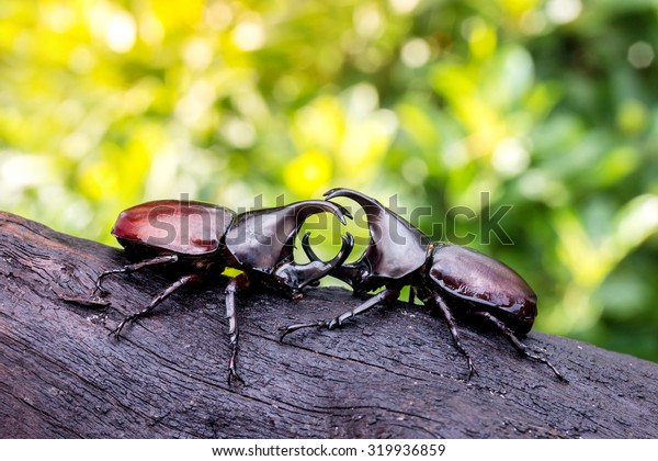 Rhinoceros beetle fighting on a timber