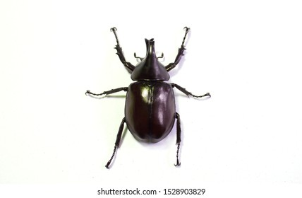Rhinoceros beetle, Hercules beetle, Unicorn beetle, horn beetle, male on white background