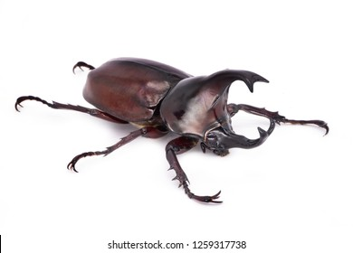 Rhinoceros Beetle On White Background, large flying beetle from thailand