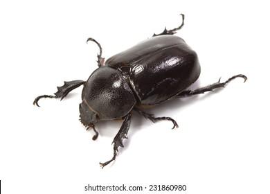 rhinoceros beetle on white background