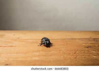 Rhinoceros beetle on Wooden floor, Closeup Rhinoceros beetle on wooden, nature concept