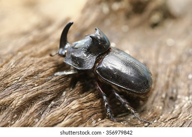Rhinoceros Beetle (Oryctes nasicornis) With Beautiful Background