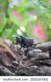 The rhinoceros beetles  use their horns to clash with each other in battles for breeding ground.